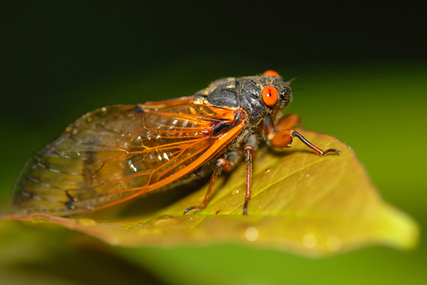 Biology professor readies to research 17-year cicadas